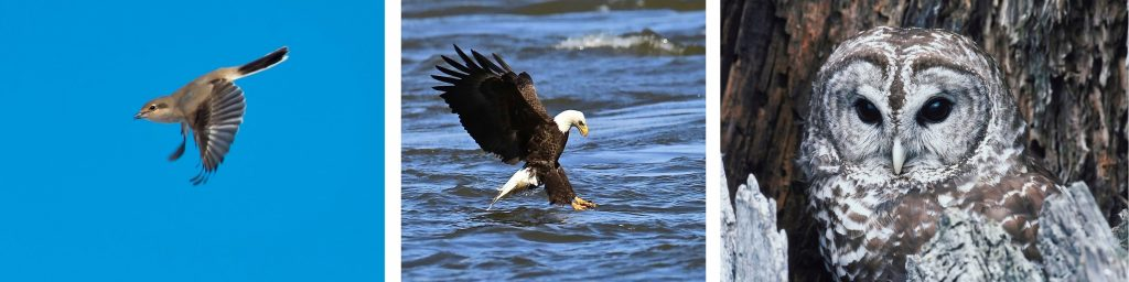 Birds of Whidbey< birdwatching, Eagles, Owls, island life
