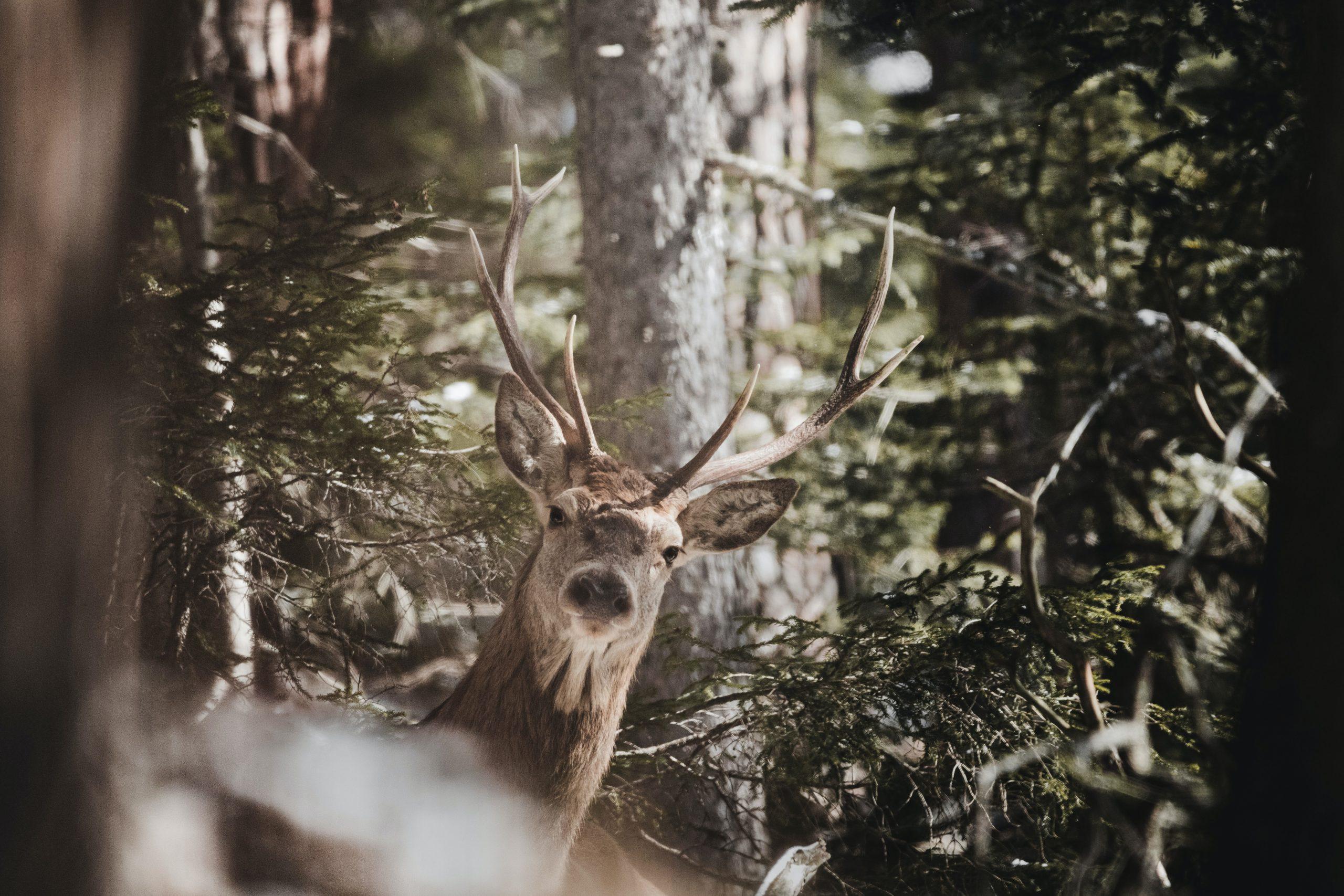 Buck, deer, Whidbey Island, Oak Harbor, Washington