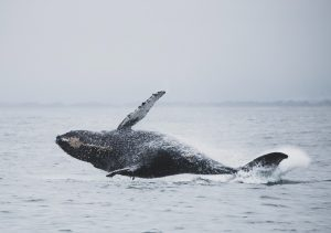 The Gray Whales Return toWhidbey
